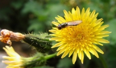鲜花  蜜蜂图片