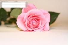 粉玫瑰背景