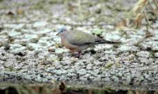 斑頸鳩图片