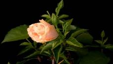 高速拍摄鲜花生长过程
