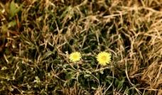 蒲公英花图片
