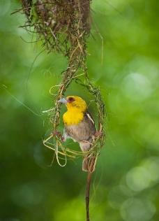 织巢鸟图片