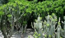 仙人树图片