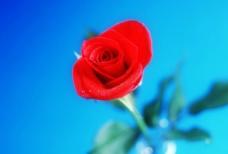 玫瑰花特写图片