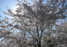玉渊潭 樱花节图片