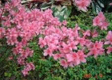 映山红 花卉 花草 花花世界 红花 万绿丛中一点红图片