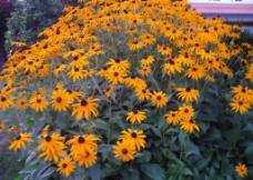 夕阳黄花图片