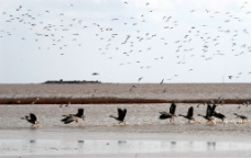 黄河口湿地天鹅图片