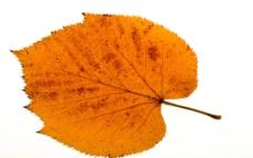枯叶 黄叶 一片 叶子图片