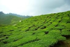 茶叶山图片