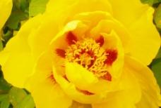 黄色牡丹花图片