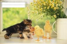 小动物宠物猫鸡42